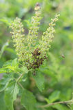 Basilu kwiat obraz stock
