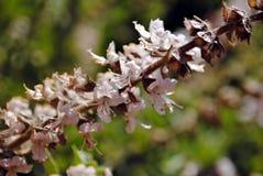 Basilu kwiat Zdjęcia Stock