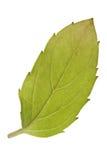 Basilu liść Zdjęcie Royalty Free