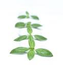 basilu liść talerz Zdjęcie Stock