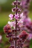 Basilu Ocimum basilicum Zdjęcie Royalty Free