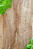 basilu otoczki liść ukazują się drewnianego Obraz Stock