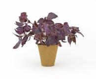 basilu zielarski torfowiskowy rośliny garnka dębnik Zdjęcie Royalty Free