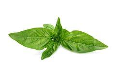 Basilu ziele liść Zdjęcia Royalty Free