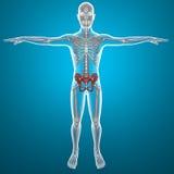 Basin pelvis human body x-ray Royalty Free Stock Image