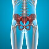 Basin pelvis human body x-ray Stock Images