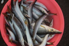 A basin of saury Royalty Free Stock Photo