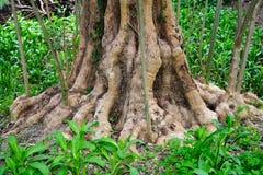 Basis des alten Baumkabels Stockbild