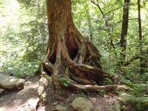 Basis des Baums mit Wurzeln stellte Betrieb entlang dem Boden heraus stockbild