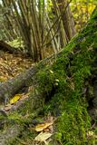 Basis forest trunk old tree covered moss fallen leaves against background floral base stock photography