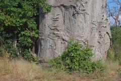 BASIS VAN DE BOOMSTAM VAN DE BAOBABboom IN AFRIKA stock afbeeldingen