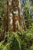 Basis van een kale cipresboom in Zuid-Florida royalty-vrije stock foto