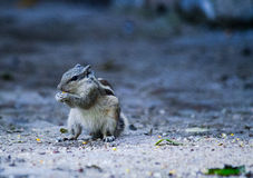 Basiseekhoorn stock foto