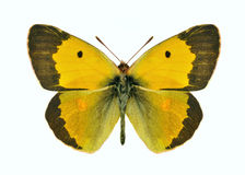 Basisrecheneinheit Colias crocea (Mann) Lizenzfreie Stockfotos
