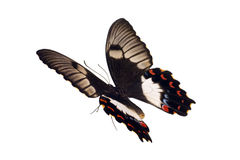 Basisrecheneinheit im Flug, Obstgarten Swallowtail Stockbild