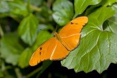 Basisrecheneinheit Julia-Longwing (Dryas iulia) Lizenzfreie Stockfotografie
