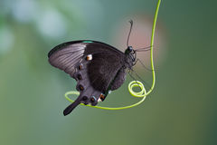 Basisrecheneinheit, Mariposa Mito Lizenzfreie Stockbilder
