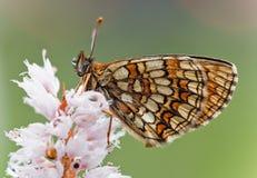 Basisrecheneinheit (Melitaea-athalia) Lizenzfreies Stockbild