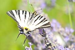 Basisrecheneinheit Papilio Machaon auf Lavendel Lizenzfreie Stockfotos