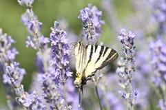 Basisrecheneinheit Papilio Machaon auf Lavendelblume Stockfotos