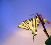 Basisrecheneinheit Papilio Machaon in einem Zweig des landwirtschaftlichen Efeus Lizenzfreie Stockfotografie