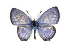 Basisrecheneinheit - Plumbago-Blau, Leptotes plinius Lizenzfreie Stockfotos