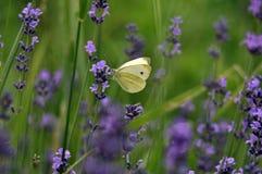 Basisrecheneinheit und Lavendel Stockfotos