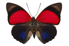 Basisrecheneinheits-Spezies Agrias claudina lugens lizenzfreies stockbild