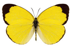 Basisrecheneinheits-Spezies Eurema alitha lizenzfreies stockbild