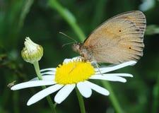 Basisrecheneinheits-Wiese Brown und die Fliege auf der Blume Stockfoto