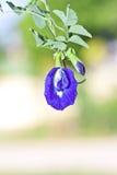 Basisrecheneinheitserbsenblume Stockbilder
