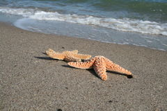 Bask In The Sun. A starfish basking in the sun on a tropical beach Royalty Free Stock Images