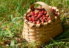 Basked full with ripe wild straberries Stock Photo