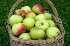 Basket with apples. Wattled basket with a crop of apples on a green grass Royalty Free Stock Photos