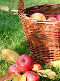 Basket with apples. Composition with an old basket full of apples Royalty Free Stock Photo