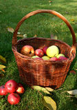 Basket and apples. Basket full of apples in the garden Stock Images