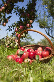 Basket of apples. Low angle view of a wicker basket full of fresh red apples just picked from a tree in the orchard stock photo