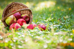 Basket of apples. Scattered on grass in autumn garden royalty free stock photo