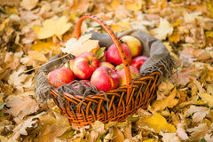 Basket with apples on autumn leaves in forest Stock Image