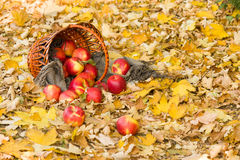 Basket with apples on autumn leaves in forest Royalty Free Stock Image