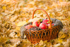 Basket with apples on autumn leaves in forest Royalty Free Stock Images