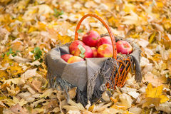 Basket with apples on autumn leaves in forest Royalty Free Stock Photography