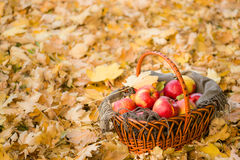 Basket with apples on autumn leaves in forest Royalty Free Stock Photo