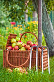 Basket of apples in garden Royalty Free Stock Photos
