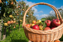 Basket of apples. Apples in basket  in the garden Royalty Free Stock Photos