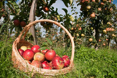 Basket of apples. Apples in basket  in the garden Royalty Free Stock Photo
