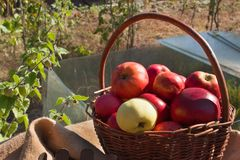 Basket with apples in the garden. Autumn harvest fruit. Basket full of Vitamin and fruit. Collecting apples. Royalty Free Stock Photography