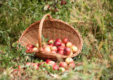 Basket with apples in a garden Stock Photos