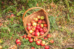 Basket with apples in a garden Stock Photo