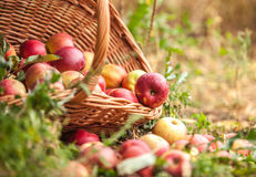 Basket with apples in a garden Royalty Free Stock Photography